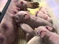 Sow with Piglets feeding