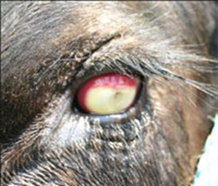 Photo of the eye of a cow infected with pinkeye