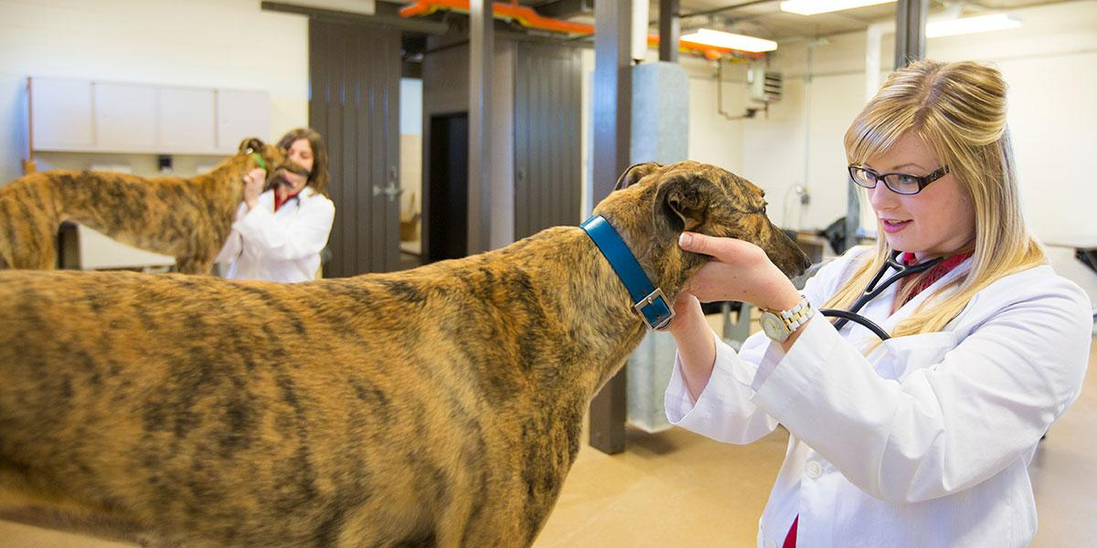 A veterinary students gives a greyhound a physical exam.
